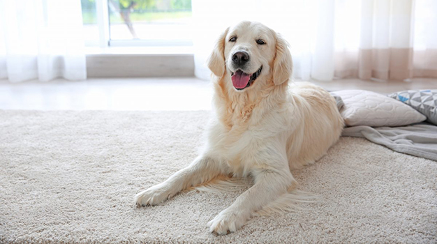 Peace of Mind | Safe, clean and comfortable on a pet friendly carpet